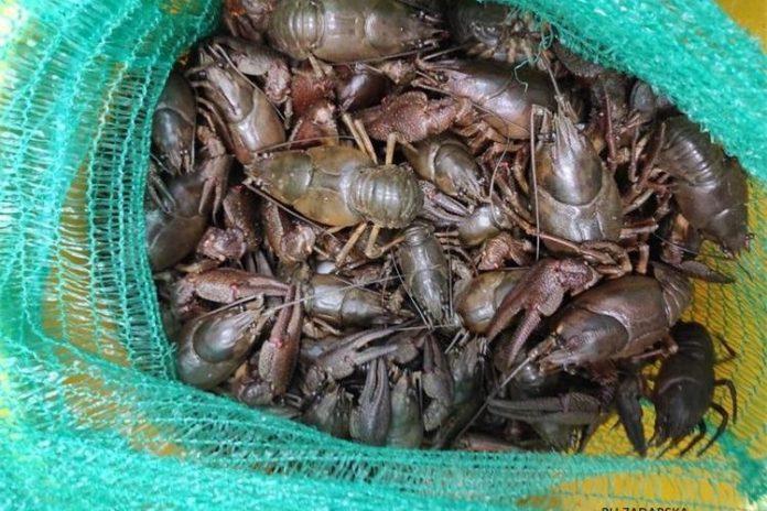 Zatečeni s 12 kg riječnih rakova
